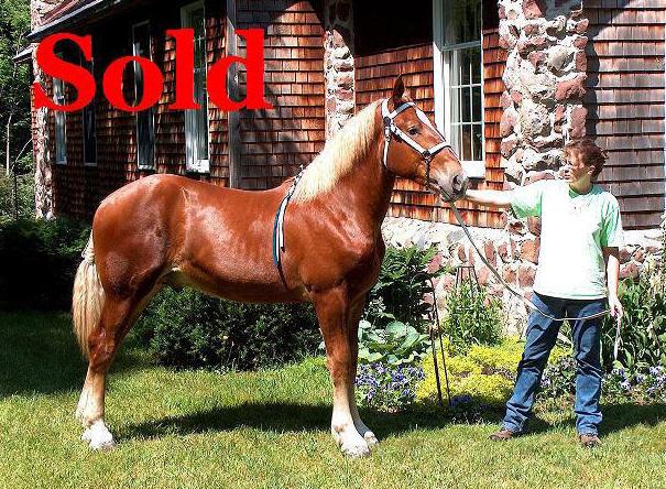 Draft horse village view topic wanted sorrel percheron